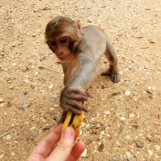 Monkey takes a banana from the camera holder