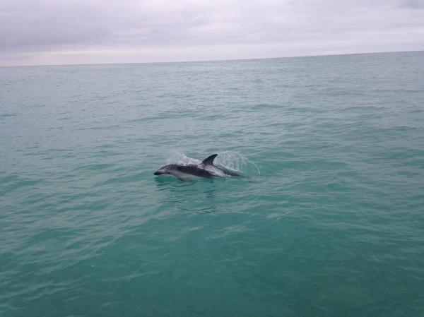 A dolphin swims alongside a boat in Kaikoura