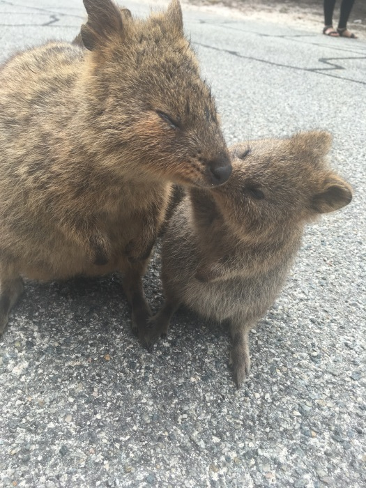 Mother and baby quokka kiss